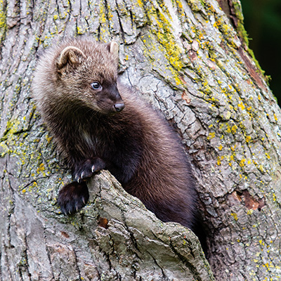Fisher in a tree.
