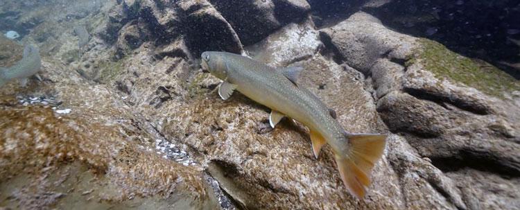 Bull trout underwater