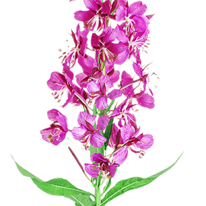 Fireweed_cropped