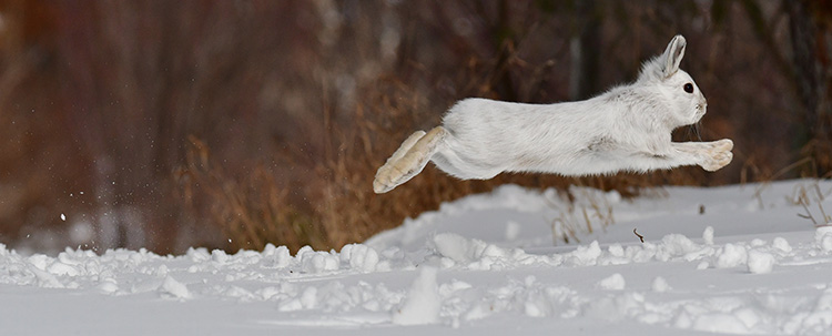 White snowshoe hare running
