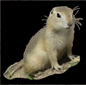 ground-squirrel-masked
