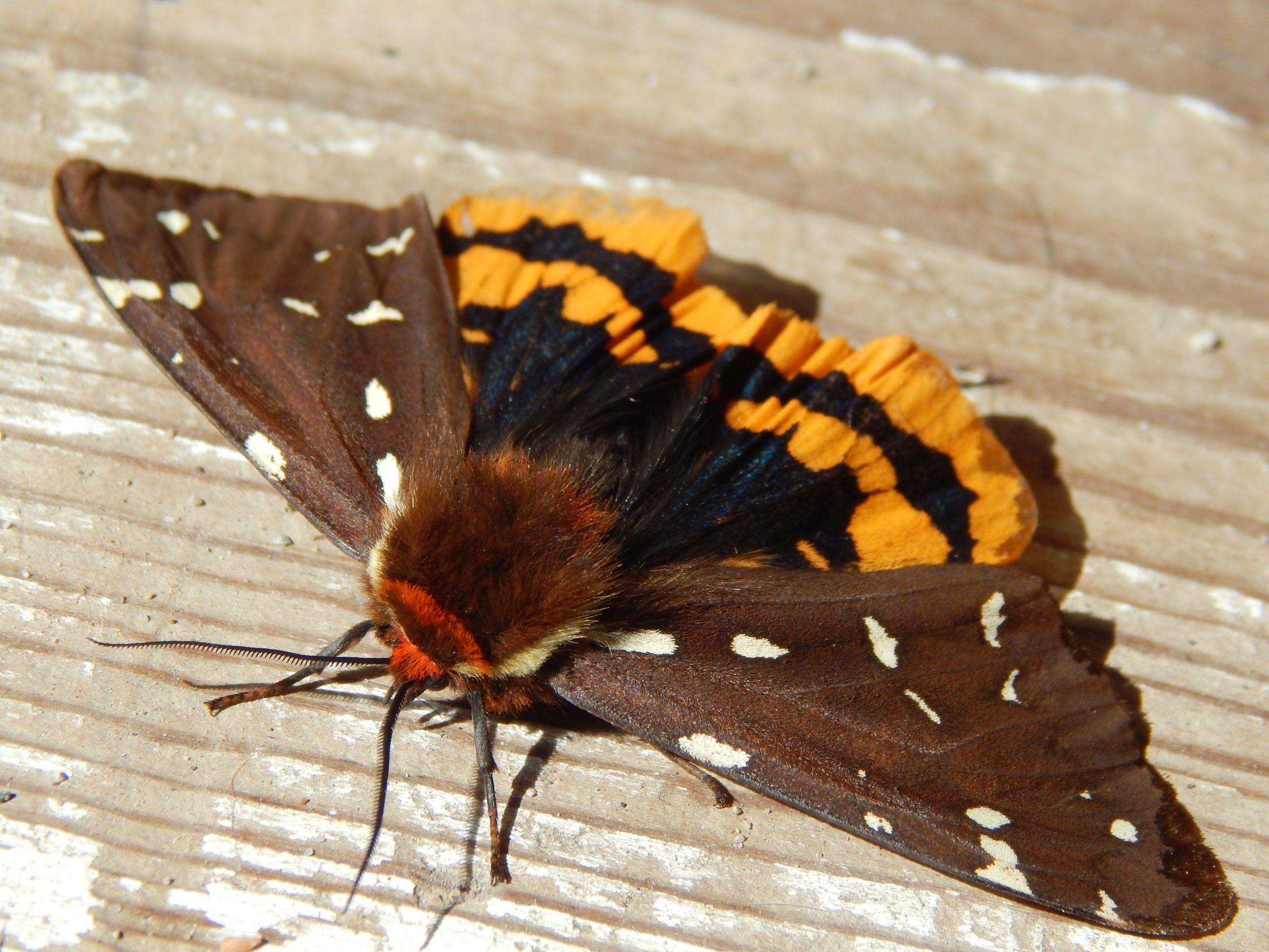 St Lawrence Tiger Moth by Kelsie Norton