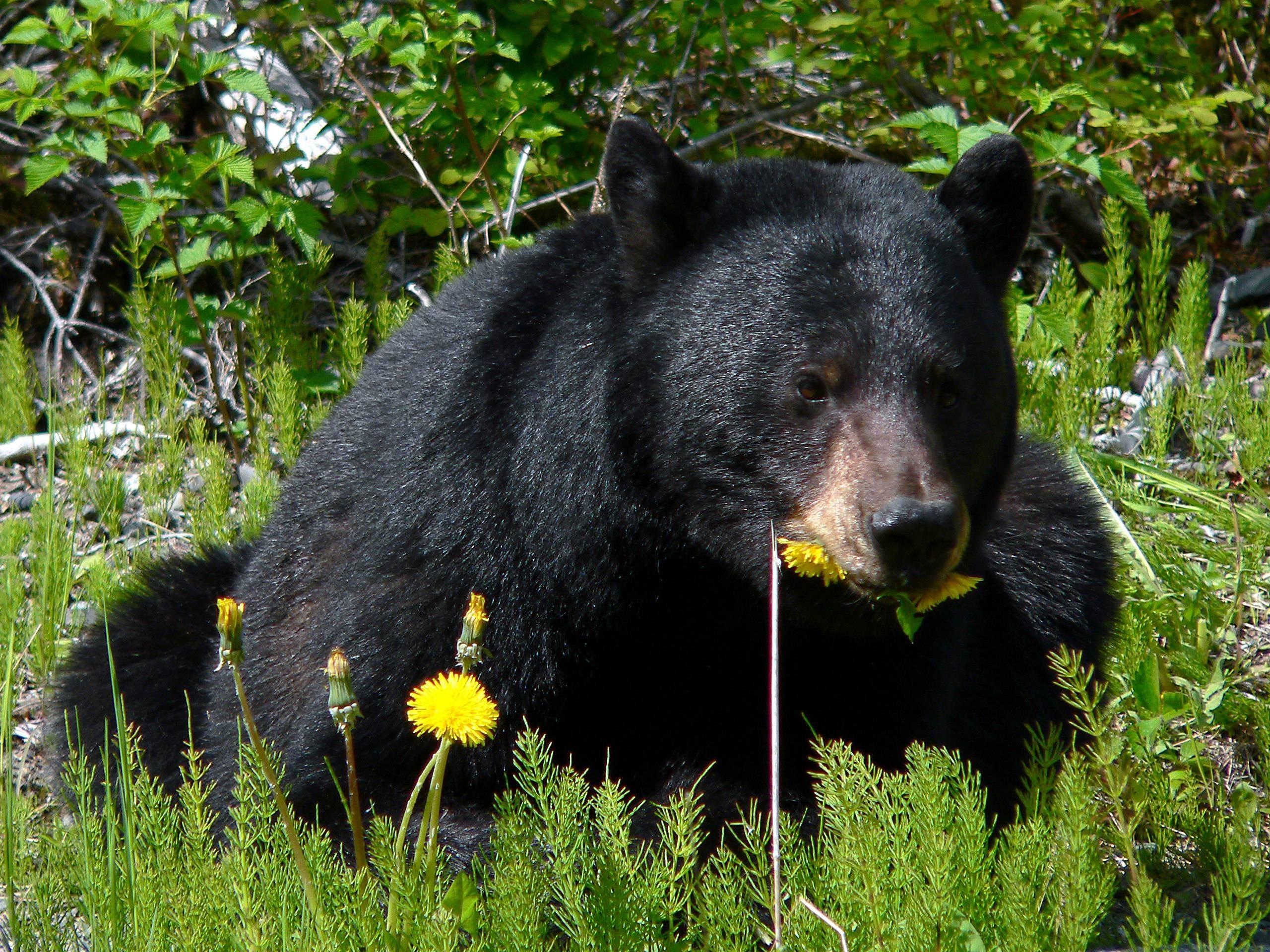 black-bear-750091