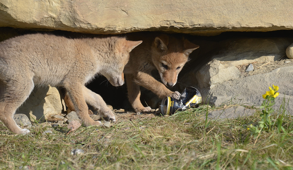 Coyote pups playing with a discarded can in their den in Arbour Lake, northwest Calgary. KATHRYN KOPCIUK