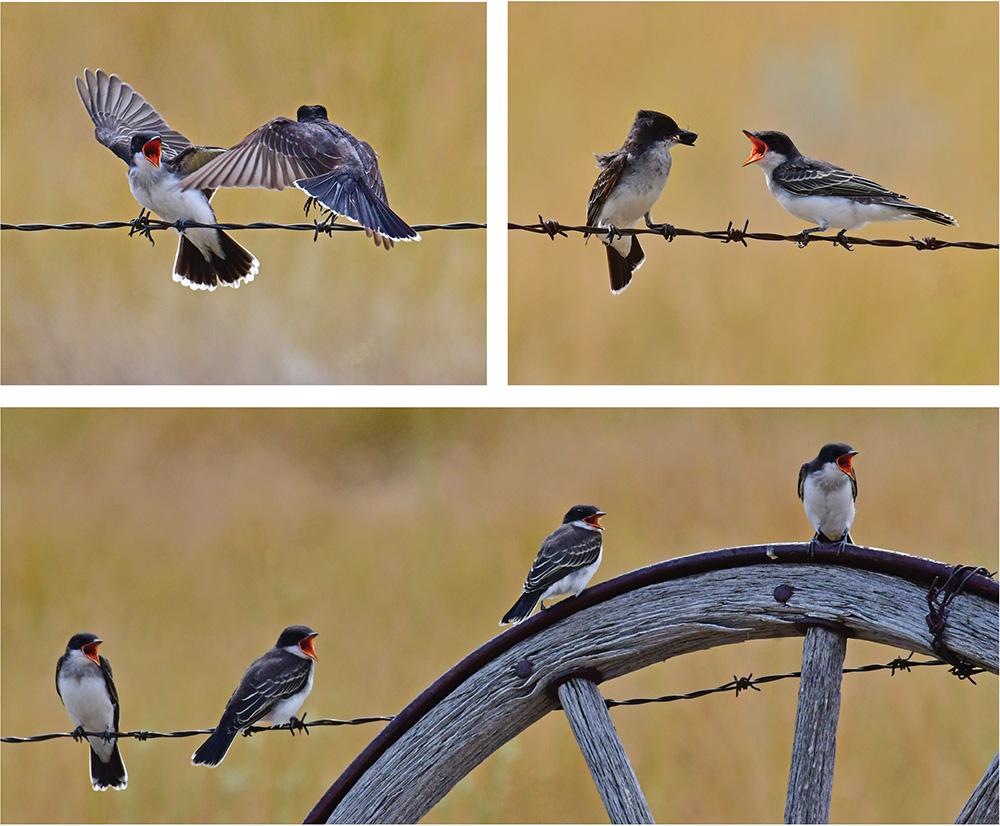Juvenile eastern kingbirds.