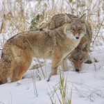 Two adult coyotes.