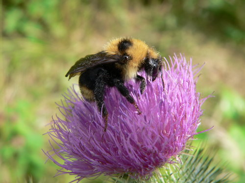 Bumblebee in a thistle bloom by Doris May