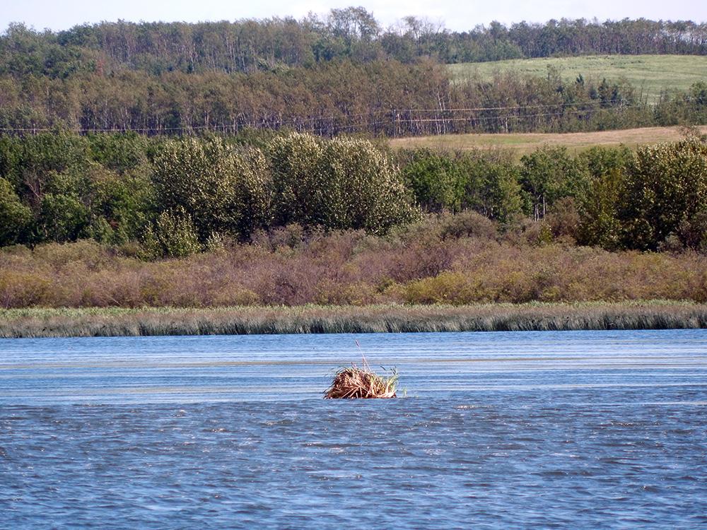 Nest in Saskatoon Lake