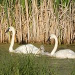 A family of trumpeter swans at Saskatoon Island Provincial Park.