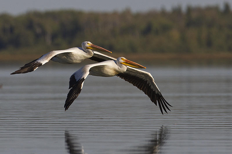 2 American White Pelicans soaring over the water's surface