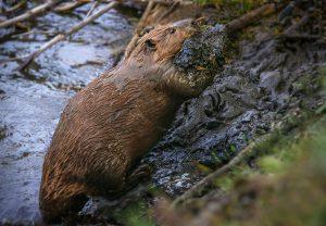 Beaver - R. Price