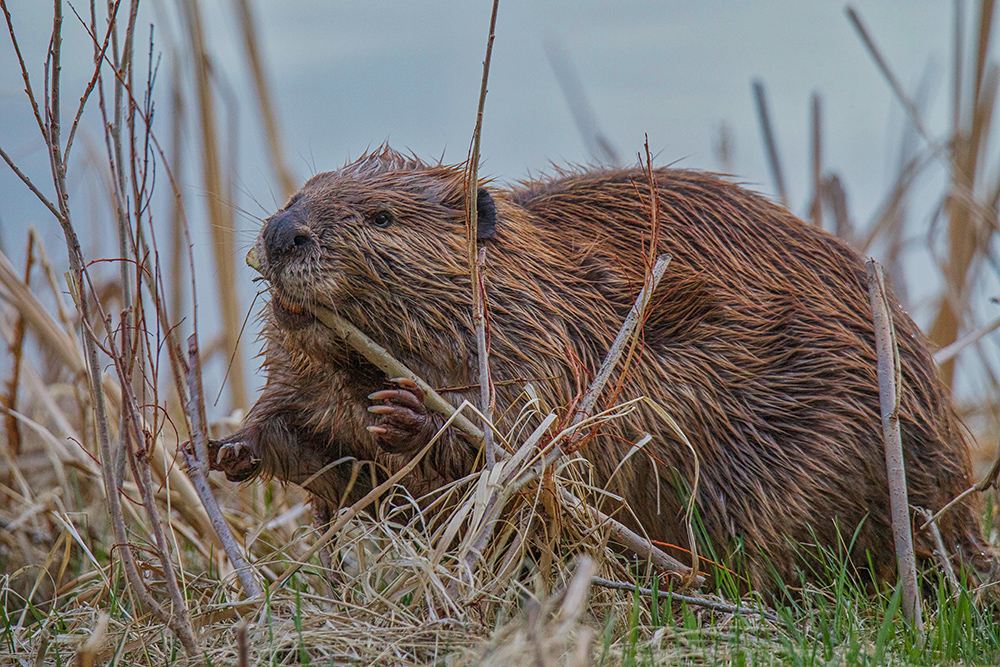 Beaver - T. LePrieur