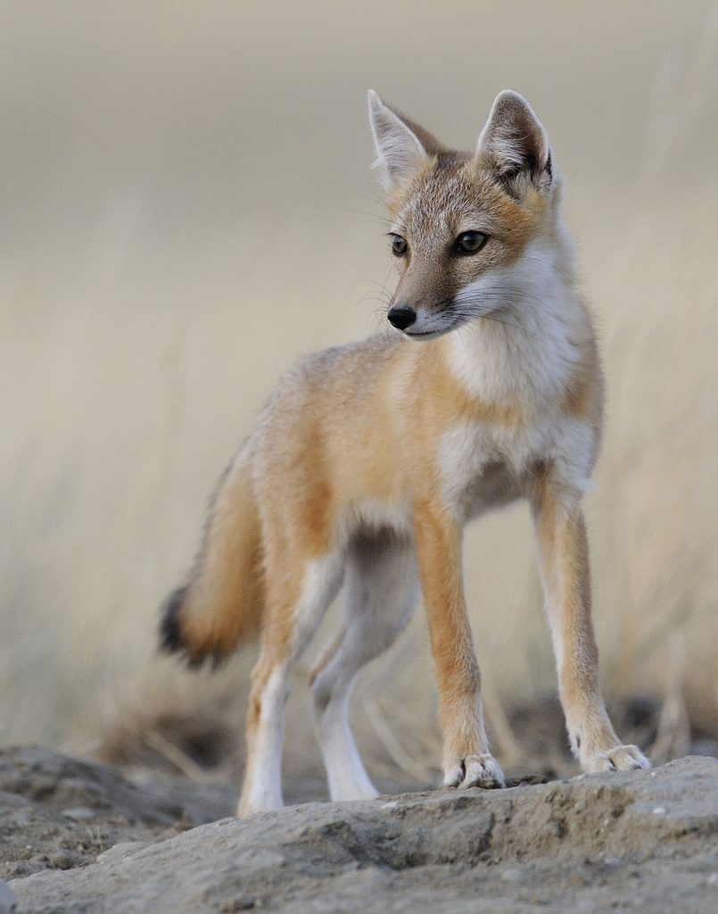 Swift Fox by Gordon Court