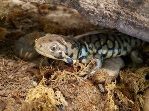 Tiger salamander - A Morozov