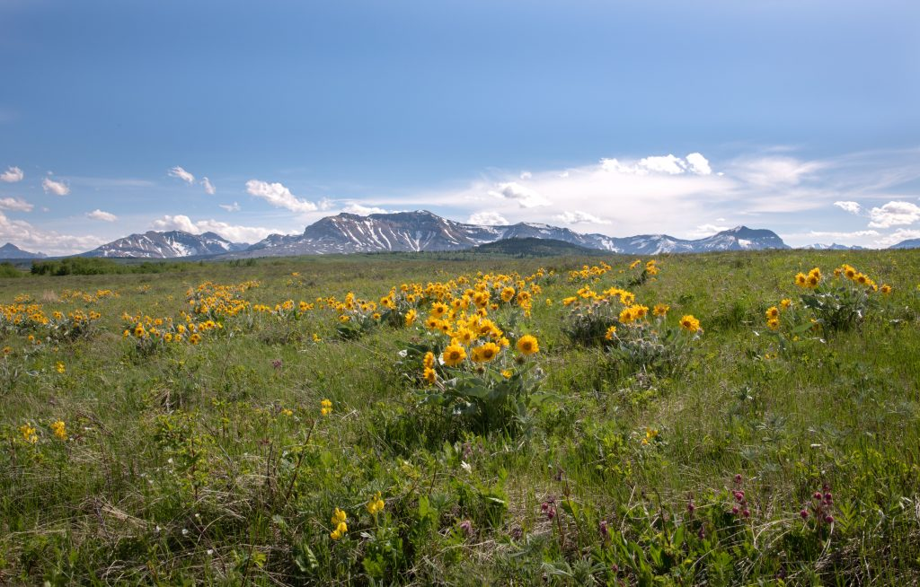 wild flowers in the grasslands with mountains in the background, typical of the Waterton Biosphere Reserve
