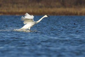 Trumpeter Swan running along water