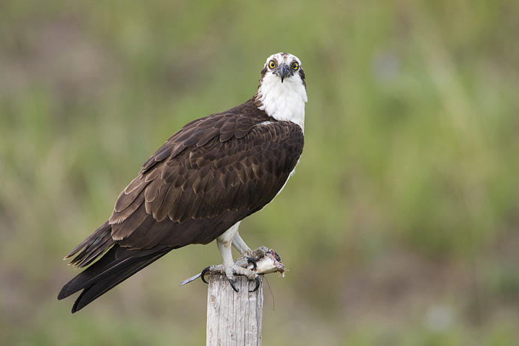 Osprey eating a fish, perched on a fence post