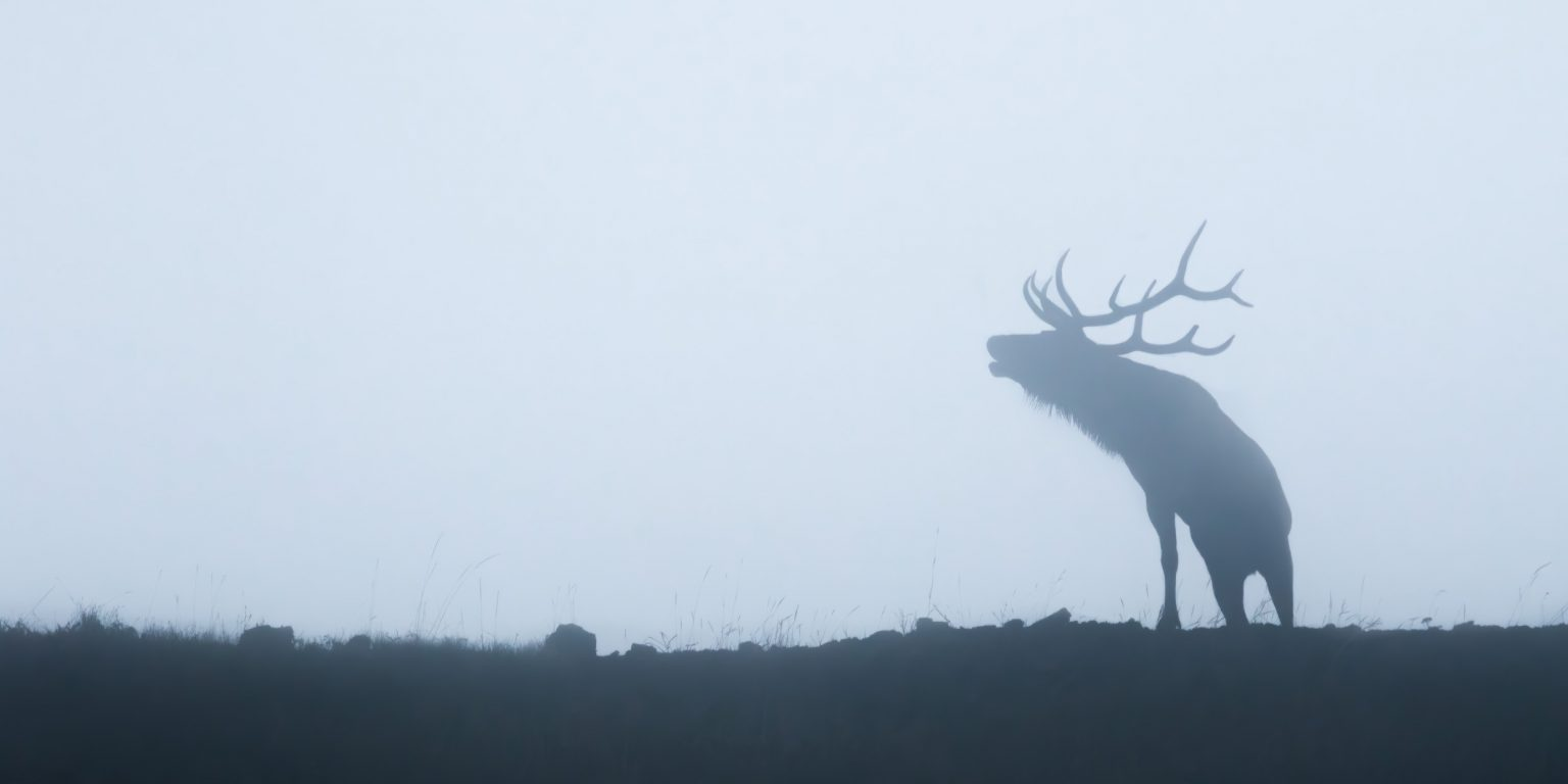 Elk bugling in the mist