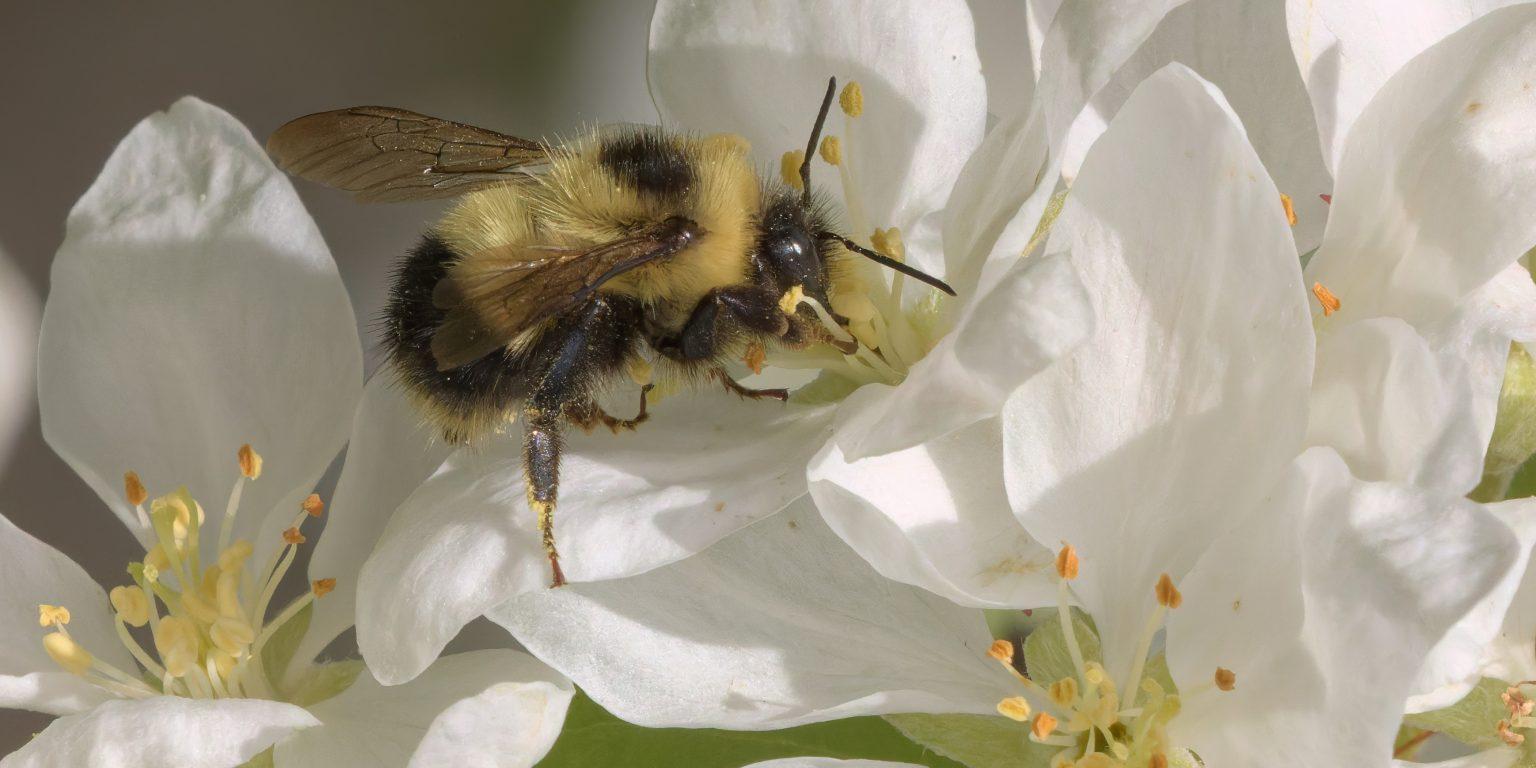 Bumble bee by Richard Schneider