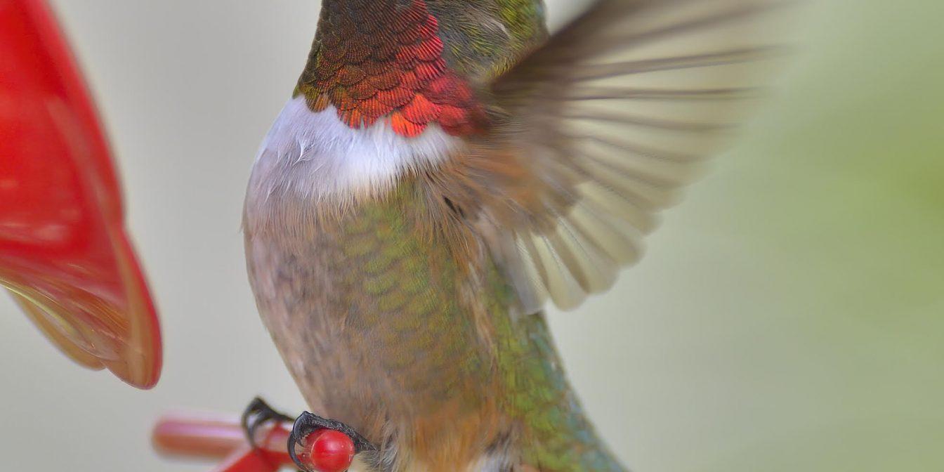 Broad-tailed Hummingbird (Selasphorus platycercus), Beaver Mines, by Gordon Petersen