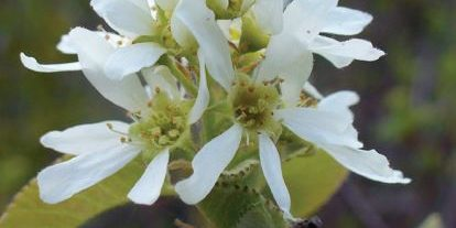 Flowering saskatoon