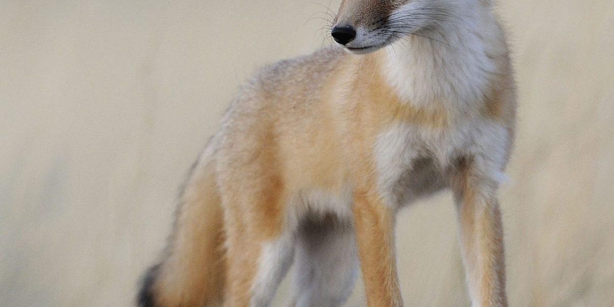 Swift Fox by Gordon Court